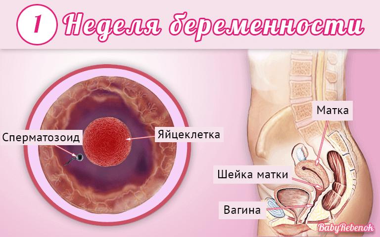 Вторая неделя беременности от зачатия признаки и ощущения