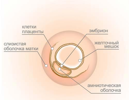 3 неделя беременности: признаки, симптомы, ощущения, фото, УЗИ
